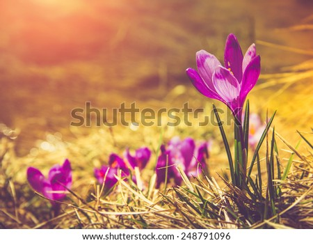 Crocus flowers in the warm rays of spring. Filtered image:cross processed vintage effect.  - stock photo