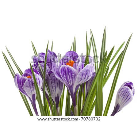 crocus flowers isolated on a white background - stock photo