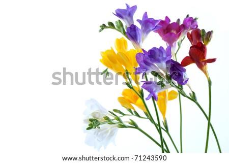 Crocus flowers isolated on white background - stock photo