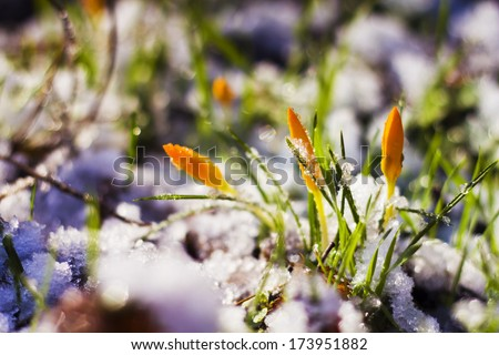 Crocus flowers, snowdrops buds in snow - stock photo