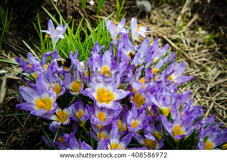 crocus flowers with purple petals and a yellow center  - stock photo