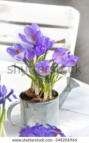 crocus in little watering can on white table in terrace - stock photo