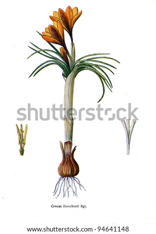 """Crocus Korolkovil Rgi - an illustration from the book """"Species of flowers bulbes of the Soviet Union"""", Moscow, 1935 - stock photo"""