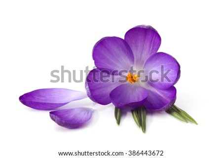 crocus on white background - fresh spring flowers