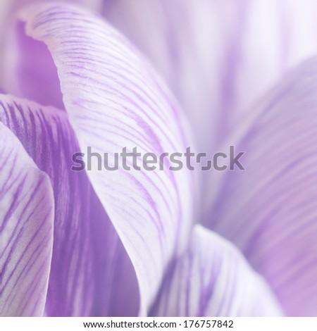 Crocus petals texture - stock photo