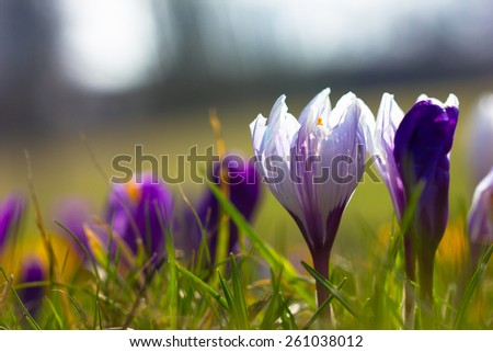 Crocus Saffron Flower in Spring  - stock photo