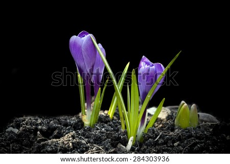 Crocus Spring Flowers Design over Black - stock photo