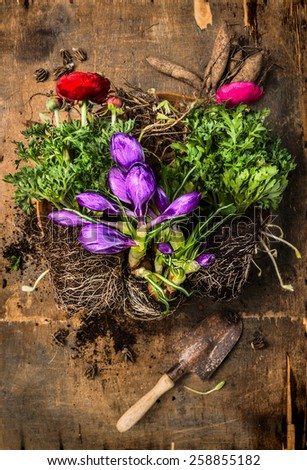 Crocuses and buttercups  gardening with scoop, soil and roots on rustic wooden background, top view - stock photo
