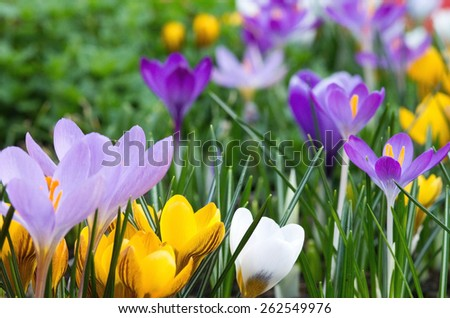 Crocuses card - stock photo