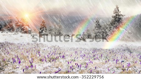 Crocuses in snow drilling spring flowers that are born after the first cold winter and greet the sun among the wild mountains fields of the Carpathians and Transcarpathian Ukraine in Eastern Europe. - stock photo