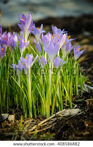 crocuses in the high thin stems are green  - stock photo