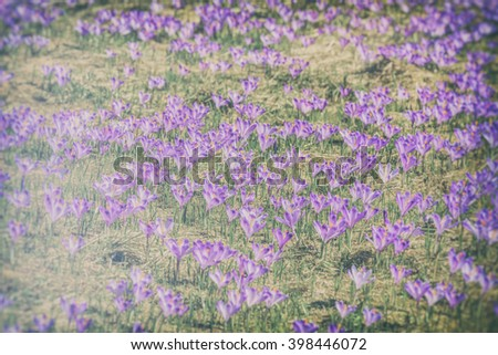 Crocuses in the Tatra Mountain, first springtime flowers (filtered)