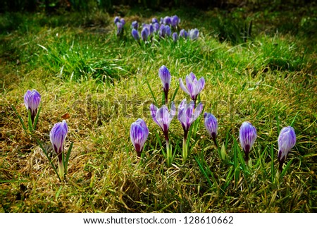 crocuses of violet color in spring meadow - stock photo