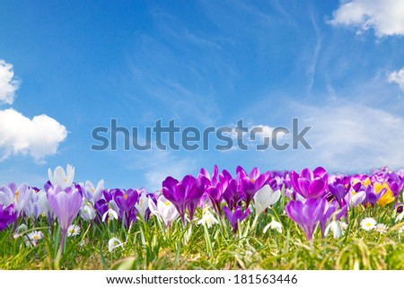 Crocuses on a spring day