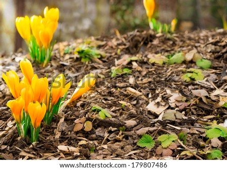 Crocuses on bark - stock photo