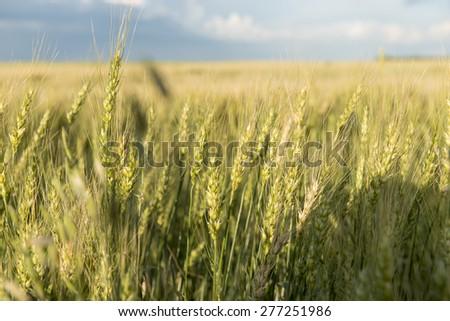 Crop in a field, Lorette, Manitoba, Canada - stock photo