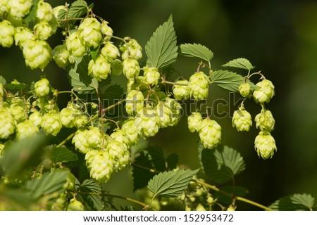 Crop of fresh ripe hop . - stock photo