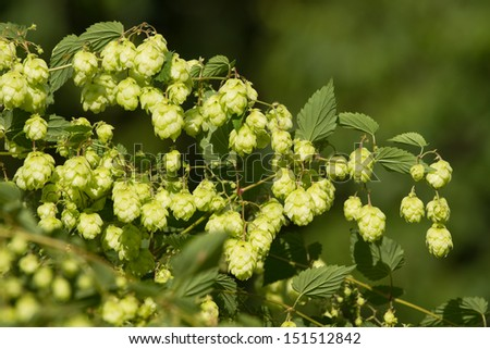 Crop of fresh ripe hop-agriculture background . - stock photo