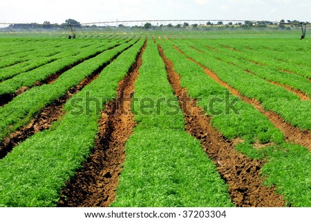 crop planted in rows - stock photo