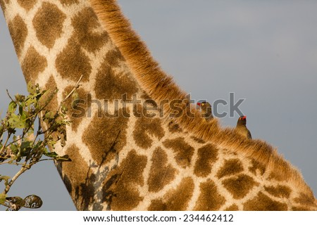 Cropped, close up, side-view of two red-billed oxpeckers, Buphagus erythrorhynchus, on the neck of a giraffe, Giraffa camelopardalis, in the Kruger National Park, South Africa. - stock photo