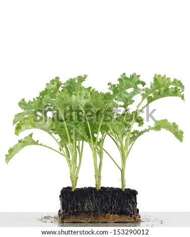 Cropped seedlings growing in cubes from soil, vegetable kale. - stock photo