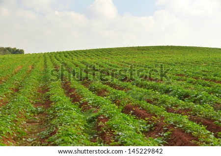 rows flowering potato plants potato field stock photo