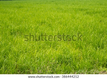 Crops grown in the field, Thailand. - stock photo