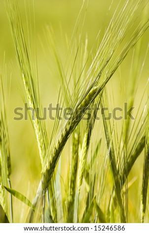 Crops on the field - stock photo