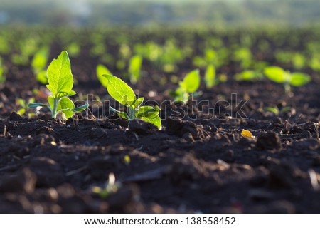 Crops planted in rich soil get ripe under the sun fast