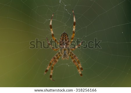 Cross Orbweaver Spider waiting patiently in the center of its web. - stock photo