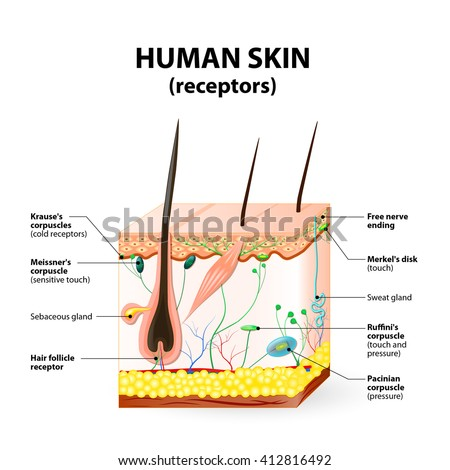 cross section human skin. Pressure, vibration, temperature, pain and itching are transmitted via special receptory organs and nerves.