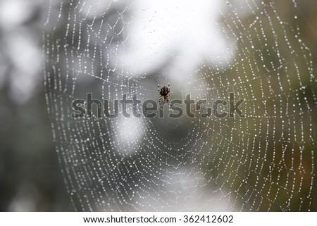 Cross Spider (Araneus diadematus) In a wet spiderweb - stock photo