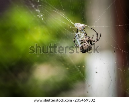Cross spider eating his prey. Selective focus with shallow depth of field.