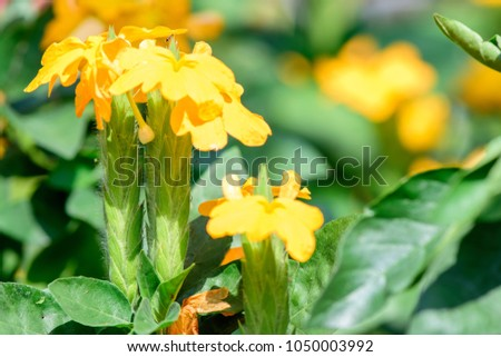 Crossandra infundibuliformis firecracker flower evergreen plant crossandra infundibuliformis firecracker flower an evergreen plant the tiny yellow flowers mightylinksfo Image collections