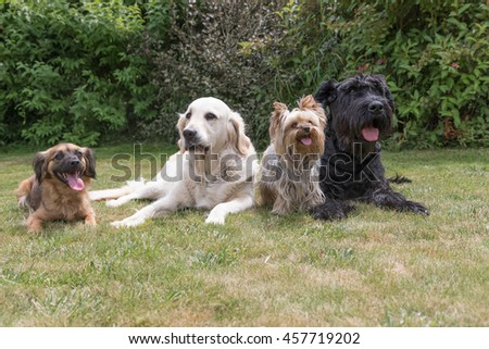 Crossbreed dog, Giant Black Schnauzer, Yorkshire Terrier and Golden Retriever dogs are lying on the lawn. - stock photo