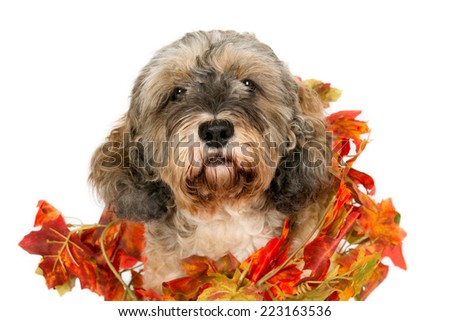 Crossbreed dog's head wearing a wreath of artificial autumn leaves, isolated on white - stock photo