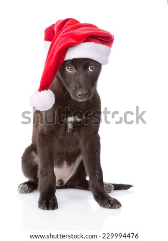 crossbreed dog with red hat. isolated on white background - stock photo