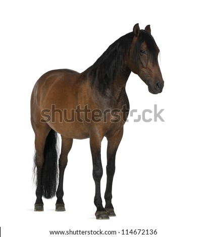 Crossbreed horse against white background - stock photo