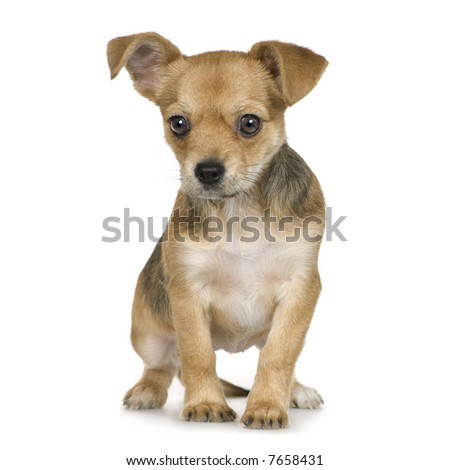 crossbreed inbetween a chihuahua and yorkshire (3 months) in front of white background