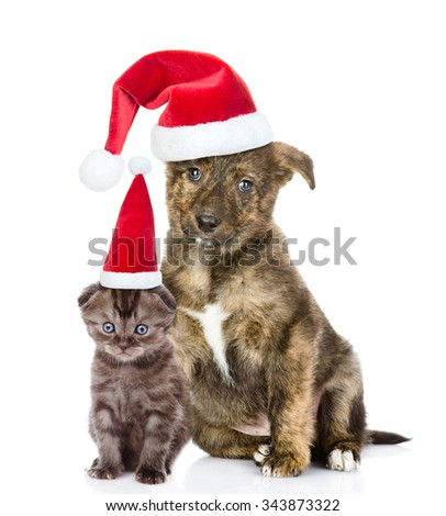 crossbreed puppy and small kitten in red santa hats sitting together. isolated on white background