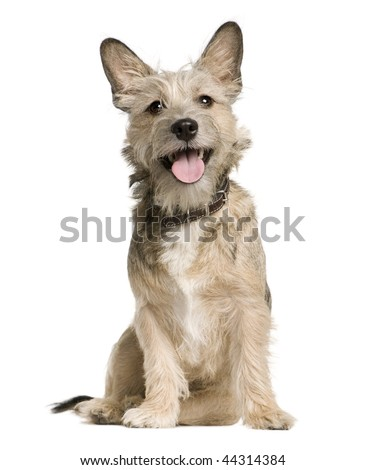 Crossbreed with a Jack Russell Terrier, 7 months old, sitting in front of white background - stock photo