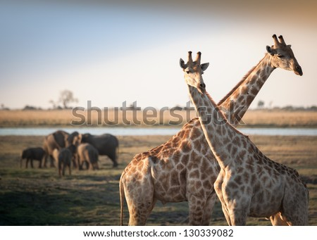 Crossed giraffes with elephants - stock photo