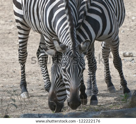 Crossed zebra heads eating. - stock photo
