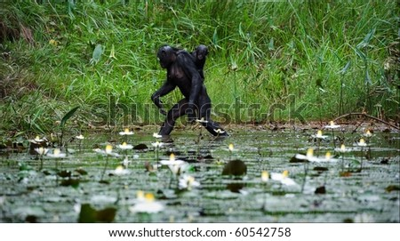 Crossing. The chimpanzee - Bonobo goes on water through a pond with a small cub on a back. - stock photo