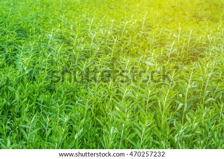 Crotalaria fields