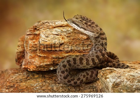 Crotalus pricei, also known as twin-spotted rattlesnake, a venomous snake found mainly in southeastern Arizona and Northern Mexico. - stock photo