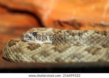 crotalus viridis, closeup with focus on head ( prairie rattlesnake ) - stock photo