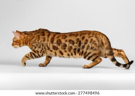 Crouching Bengal Cat on White Background, Profile view - stock photo