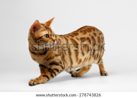 Crouching Bengal Cat on White Background, Profile view