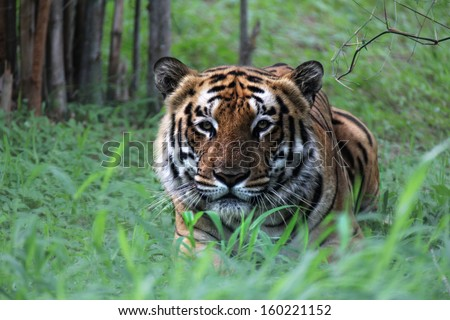 Crouching tiger - stock photo